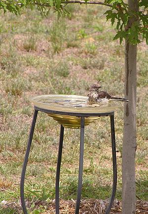 Bird bath - A watchful mockingbird bathing in a glass bowl bird bath.