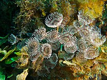 Bispira brunnea (Social Feather Duster Worm).jpg