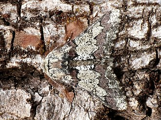 Biston strataria - Male resting on a tree trunk
