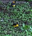 Black-&-Yellow Grosbeak (Male) I IMG 7379.jpg