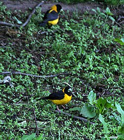 Black-&-Yellow Grosbeak (Male) I IMG 7379.jpg