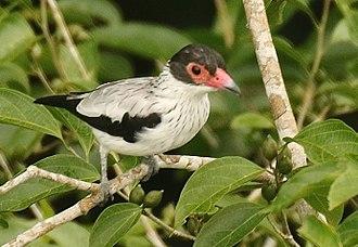Black-tailed tityra - Sacha Lodge - Ecuador