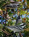 Black-throated Gray Warbler from The Crossley ID Guide Eastern Birds.jpg