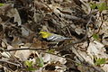 Black-throated Green Warbler, Chimney Rock Park, NC.jpg