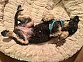 Black small poodle resting (lying on back) in cream coloured soft pet bed for dogs . Norway 2018-12-24 D.jpg