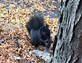 Black squirrel in Philadelphia, PA.jpg