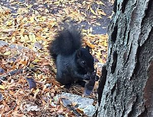 Black squirrel - Black squirrel eating in the Society Hill neighborhood of Philadelphia, PA.