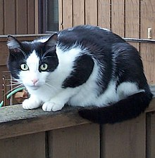 A black-and-white cat on a fence.