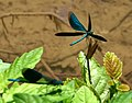 Blauflügel Prachtlibellen vor der Paarung 02.jpg