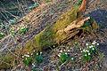 Bledule jarní v PR Králova zahrada 58.jpg