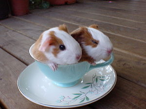 English: baby guinea pigs in a tea cup