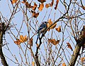 Blue Jay Perched on a Tree Limb, Parker Mill County Park, Superior Township, Michigan - panoramio.jpg