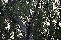 Blue Kingfisher in Katka.jpg