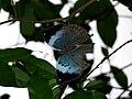 Blue Oakleaf butterfly upperside.jpg