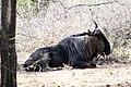 Blue Wildebeest (26380042679).jpg