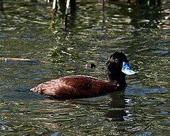 Blue billed duck male (2).jpg