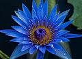 Blue lily 02.jpg