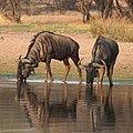 Blue wildebeest, Connochaetes taurinus drinking early morning at Borakalalo National Park (25081218788).jpg