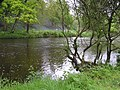 Bluebells along the river, Omagh - geograph.org.uk - 1307894.jpg