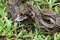Boa constrictor amarali - Flickr - Dick Culbert (1).jpg