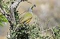 Bokmakierie Bushshrike (Telophorus zeylonus) (31355077776).jpg