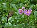 Booted Warbler (Iduna caligata) (15708952378).jpg