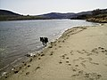 Border Collie chasing waves at Columbia River Colockum March 2010.jpg