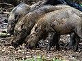 Bornean Bearded Pig (14154349962).jpg
