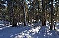 Bosc de pins a Val de Linars.JPG