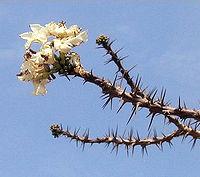 Bottle-tree(flowers)