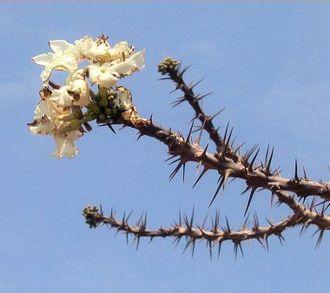 Pachypodium lealii - Image: Bottle tree(flowers)