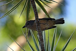 Bower's Shrike-Thrush - Flickr - GregTheBusker.jpg