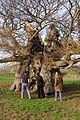 Bowthorpe Oak.jpg