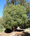 Brachychiton rupestris - Leaning Pine Arboretum - DSC05442.JPG