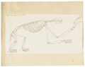 Bradypus tridactylus - skelet - 1700-1880 - Print - Iconographia Zoologica - Special Collections University of Amsterdam - UBA01 IZ21000167.tif
