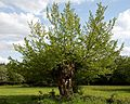 Branch growth from tree stump in Hatfield Forest Essex England.jpg