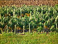 Brassica oleracea Rosenkohl HD.JPG