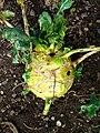 Brassica oleracea var. gongylodes 003.JPG