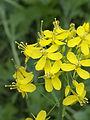 Brassica rapa subsp. campestris, raapstelen bloeiwijze (2).jpg