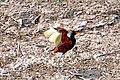 Brazil-00394 - Wattled Jacana (48963853061).jpg