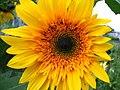 Bright Happy Face Sunflower (197161152).jpg