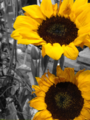 Bright and Happy Sun Flowers.png