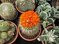 Bright orange cactus flowers (3645424150).jpg