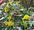 Brilon, Kurpark, Mahonia aquifolium.jpg