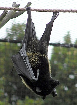 Megabat - Livingstone's fruit bat Pteropus livingstonii