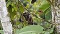 Broad-billed Motmot, Costa Rica, Januaru 2018 (39456000355).jpg