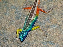 Broadley's Flat Lizard (Platysaurus broadleyi) male (6857301934).jpg