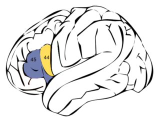 Brocas area Speech production region in the dominant hemisphere of the hominid brain