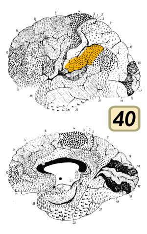 Brodmann area 40 - Image: Brodmann Cytoarchitectonics 40