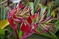 Bromeliaceae, Mt Coot-tha Botanic Gardens, Toowong IMGP0046.jpg